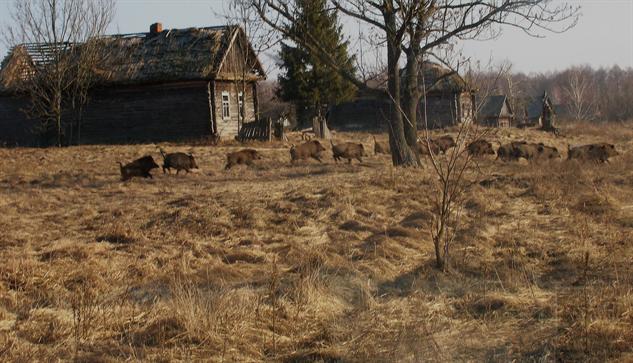 chernobyl-wildlife wild-boar-in-former-village-valeriy-yurko