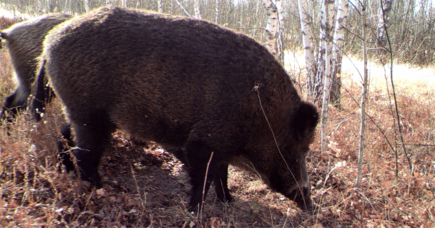 chernobyl-wildlife wild-boar-jim-beasley-and-sarah-webster--courtesy-of-nationa