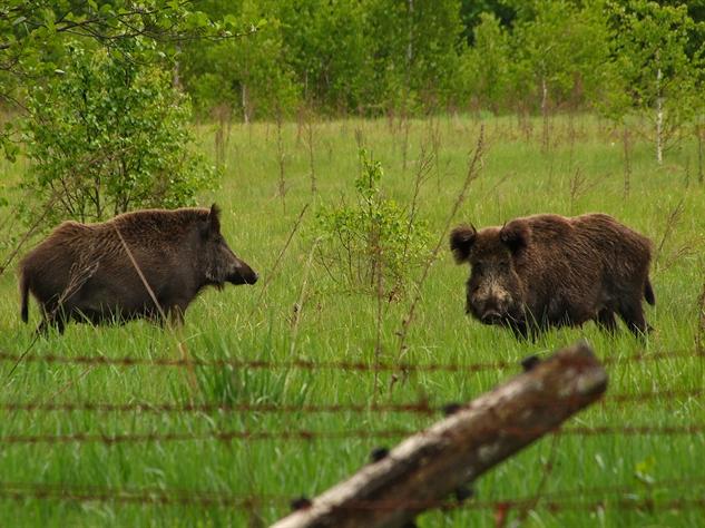 chernobyl-wildlife wild-boar-valeriy-yurko