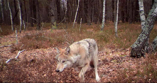 chernobyl-wildlife wolf1-jim-beasley-and-sarah-webster--courtesy-of-national-ge