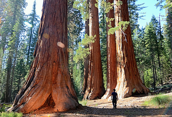 cool-forests sequoia-ntnl