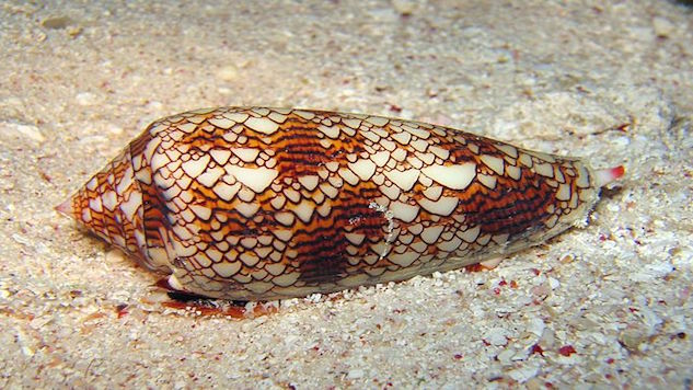 dangerous-animals cone-snail