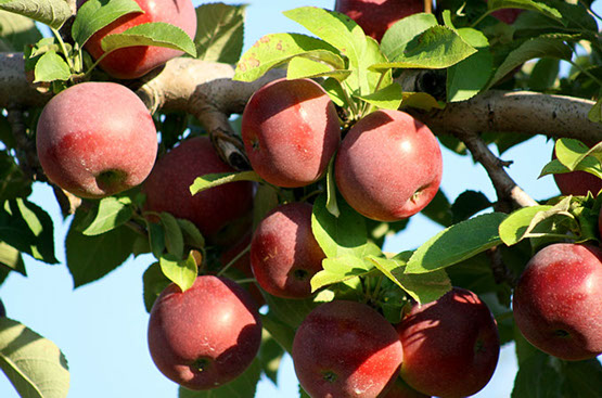 new-england-agritourism gould-hill-farm-apples-01