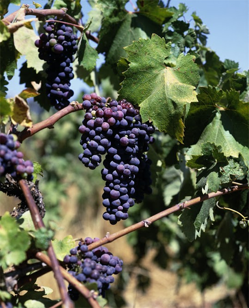 south-africa-wineries pinotage-grapes