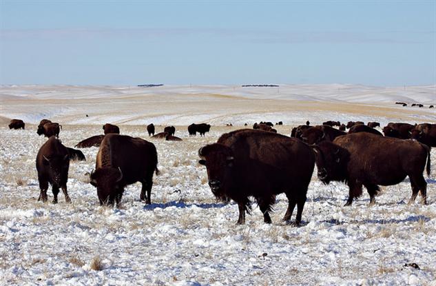 south-dakota-gallery 6-bison